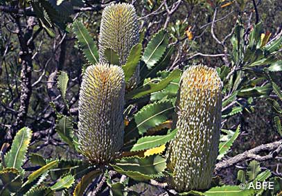 Old Man Banksia Support Health